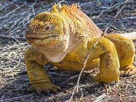 golden yellow colored galapagos islands land iguana