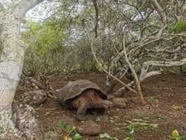 a galapagos giant tortoise walking through palo santo forest san cristobal