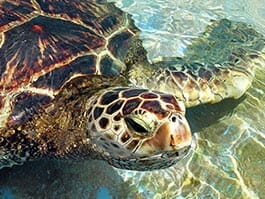 a galapagos sea turtle surfacing to raise his head from clear water