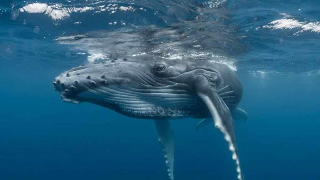 Galapagos whales - a humpback whales looks at the camera