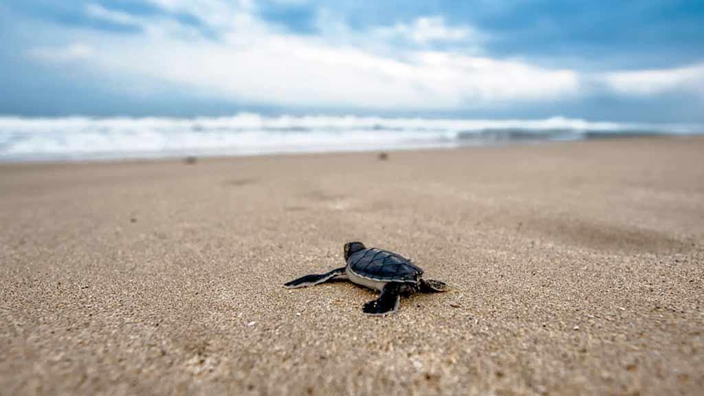 baby-turtle-looking-at-the-ocean