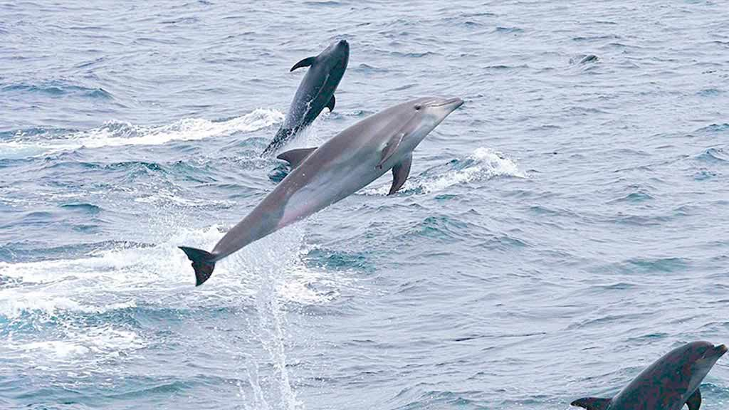 bottle-nosed-dolphins-jumping-in-galapagos-islands