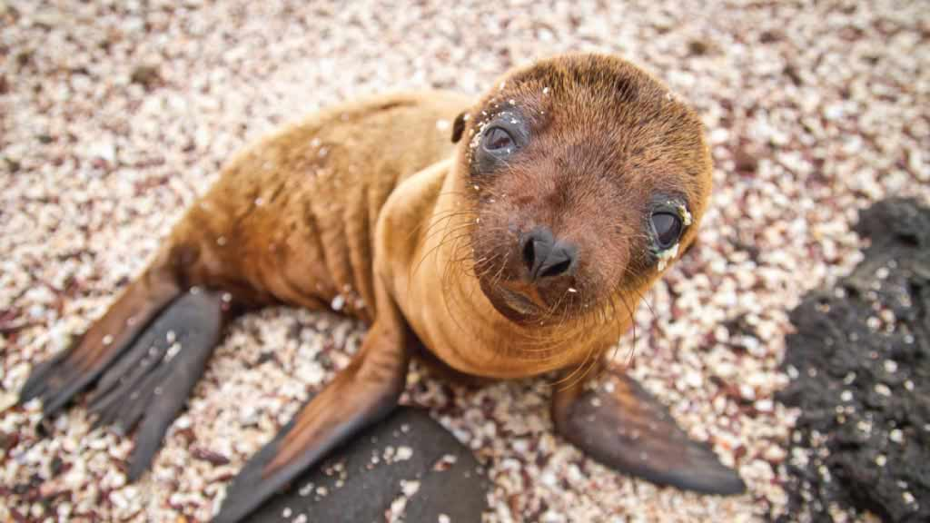 Galapagos islands animals: Ridiculously cute sea lion pup sitting on a beach looking up at you