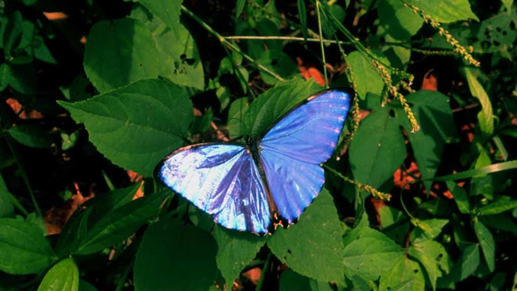blue butterfly in colombia