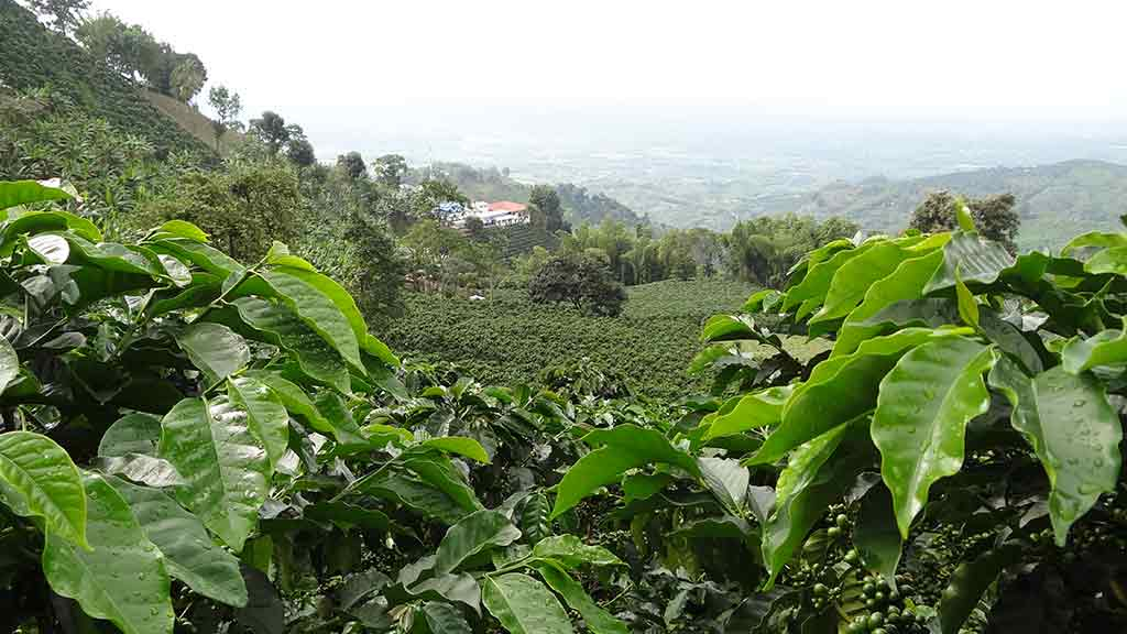 coffee plantation in colombias coffee triangle