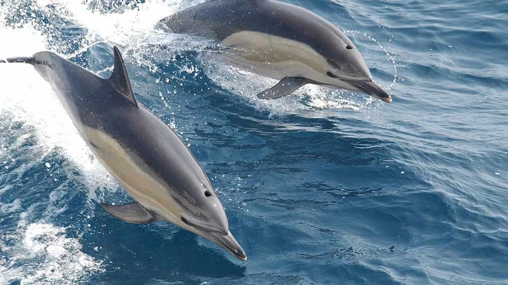 two common dolphins jump from galapagos water