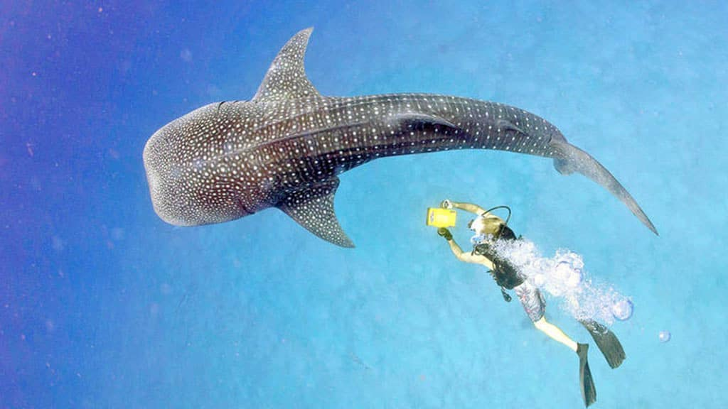 Galapagos whale shark viewed from above with diver