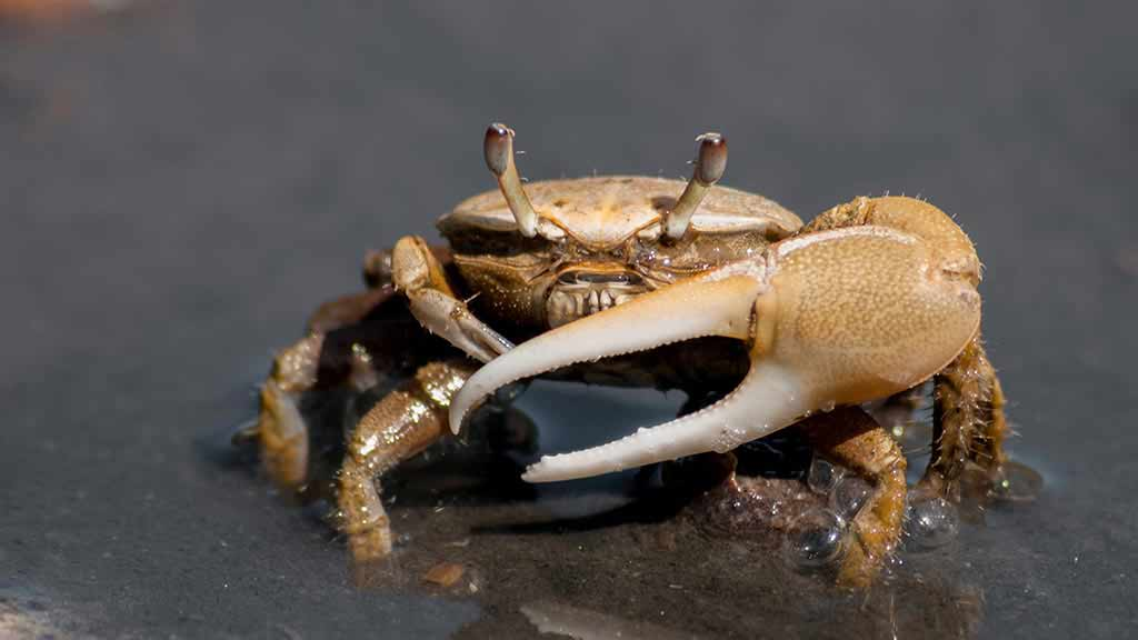 Fiddler crab with large claw at Galapagos islands