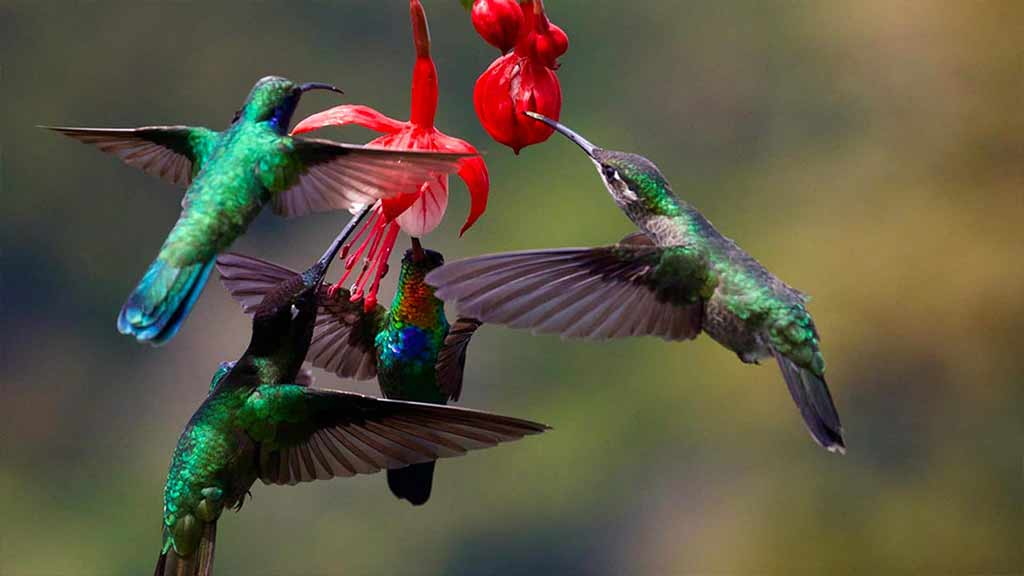 A group of green and blue hummingbirds drink nectar from a red flower at Mindo - Ecuador