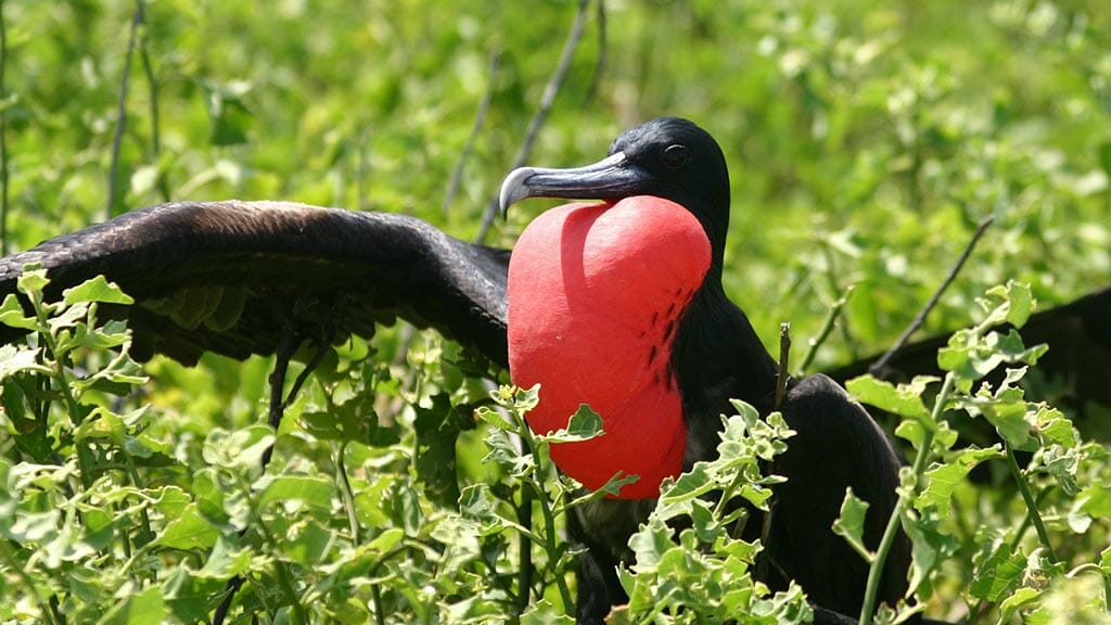 Galapagos Frigate bird puffs out his red throat pouch and spreads black wings in mating season