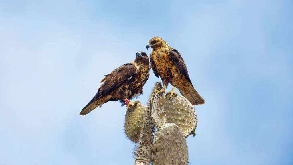 Galapagos hawk courtship: A beautiful couple sitting together on an Opuntia cactus