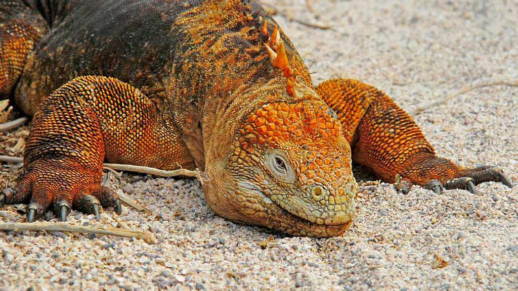 A galapagos land iguana lies still on the sand with arms stretched out