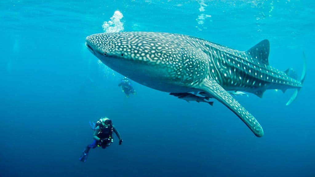 huge Galapagos whale shark swimming with pups and two divers