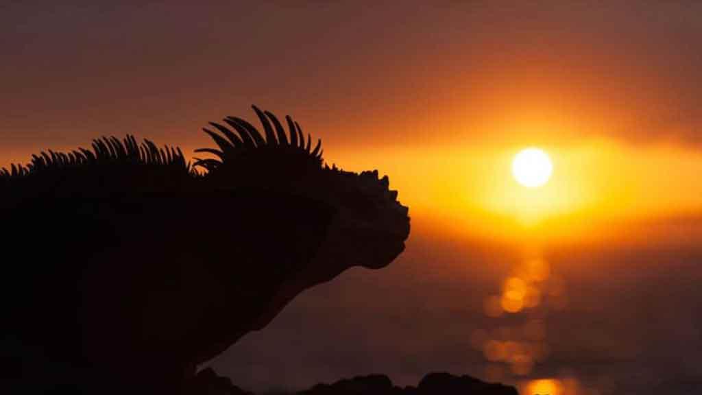 galapagos marine iguana silhouette at sunset