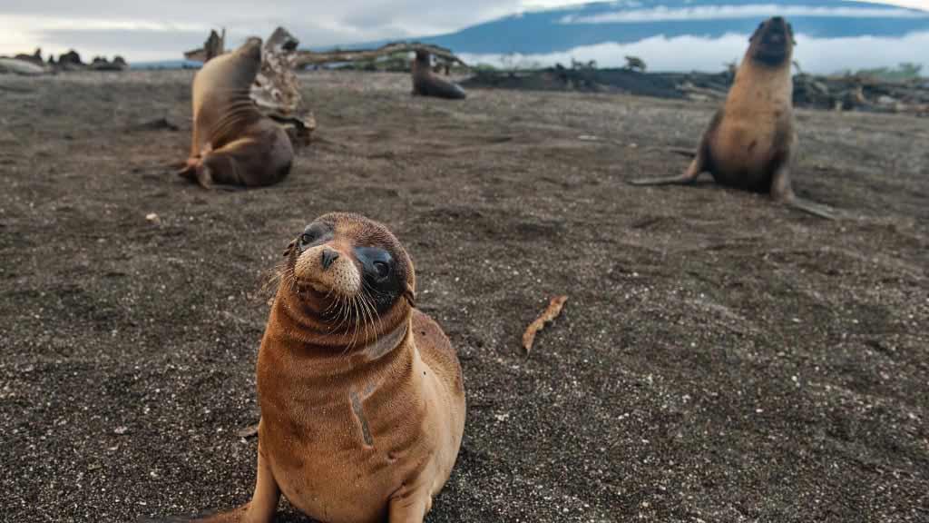 Galapagos sea lion sitting on black sand beach at Galapagos islands