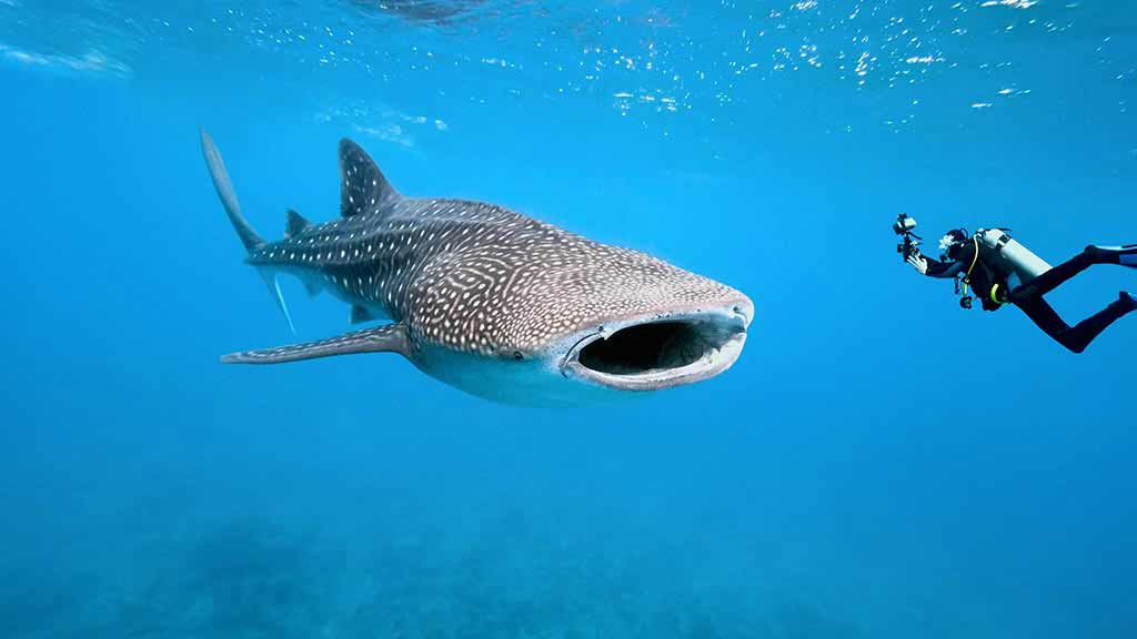 Galapagos whale shark with mouth wide open