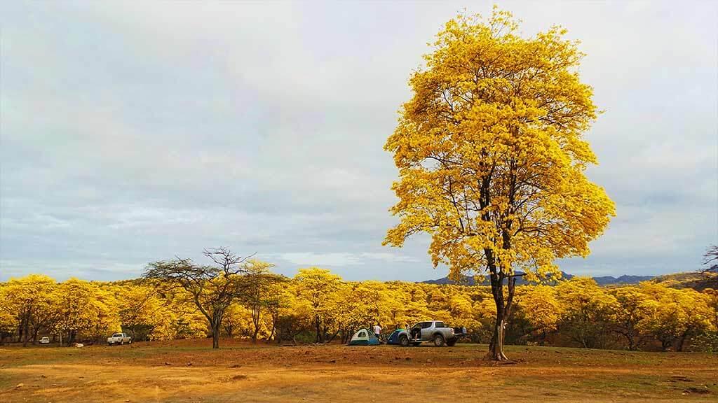 guayacan-trees