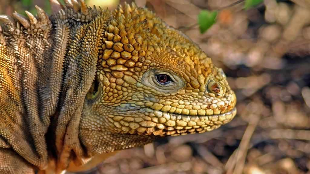 Closeup of a Galapagos land iguana with yellow scales and dorsal spikes