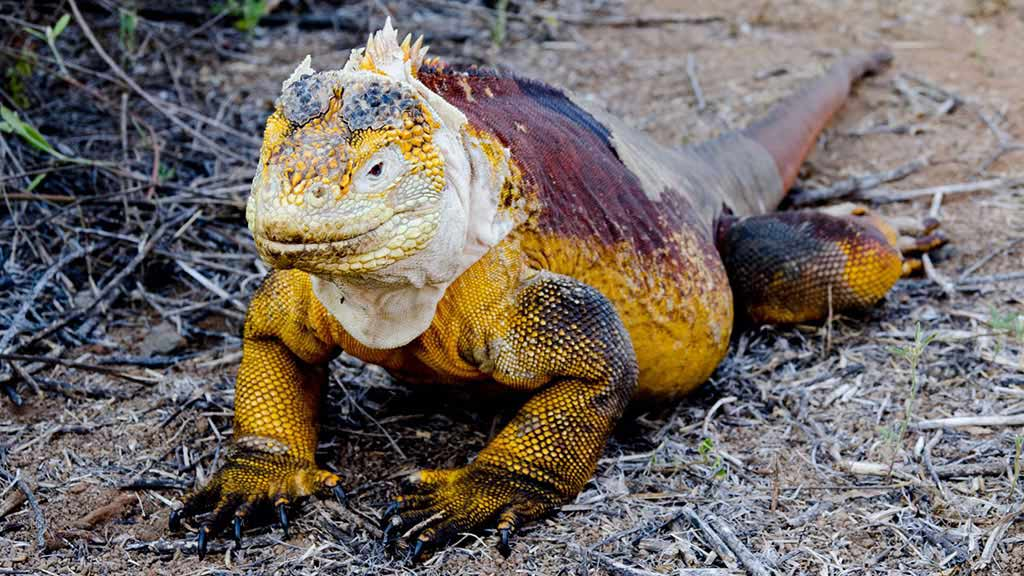 Galapagos land iguana full body with yellow, brown and black markings
