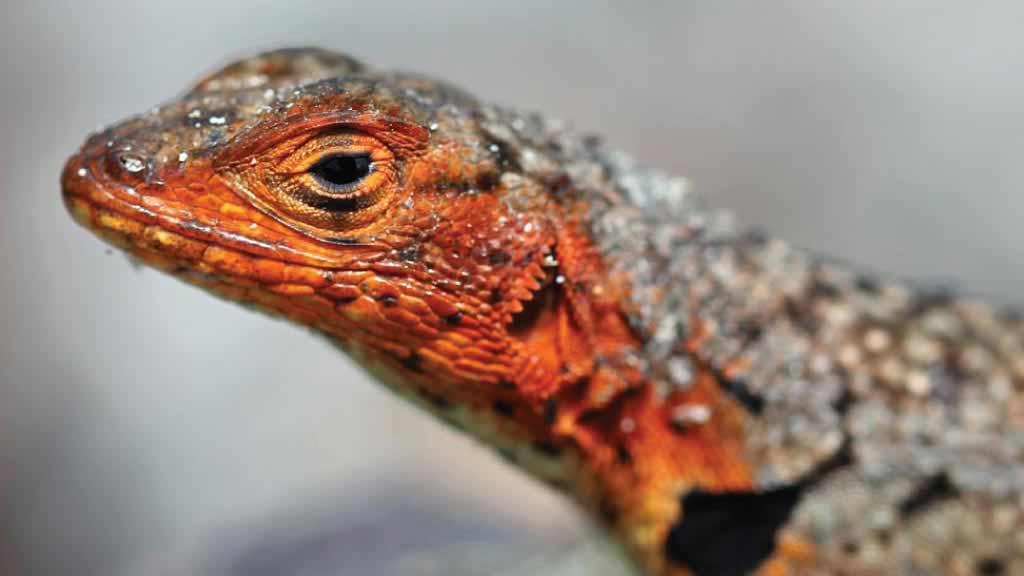 galapagos Lava lizard closeup of red head and black eye at the galapagos islands