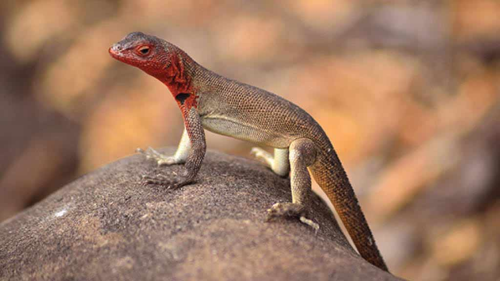 Galapagos lava lizard does pushups on a rock