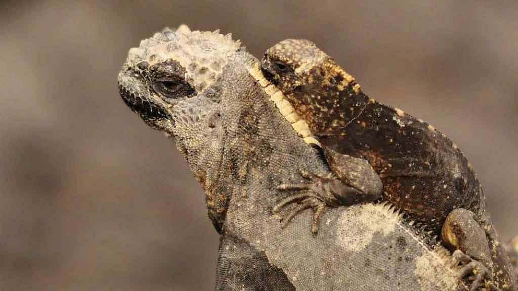 A marine iguana with young baby sat on hwe neck at Galapagos