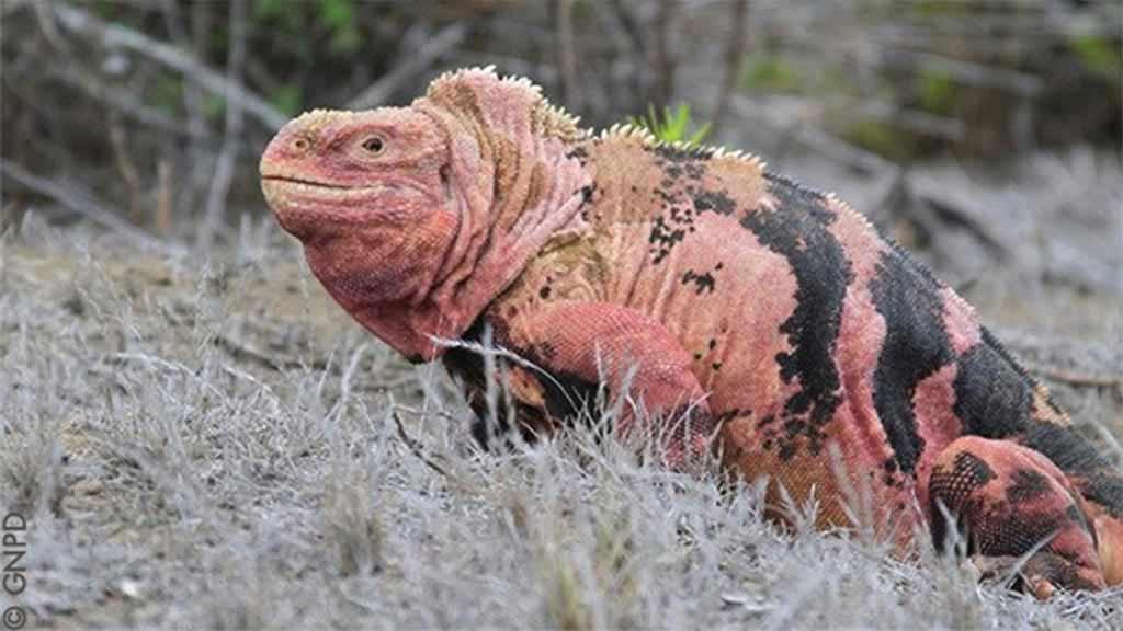 Galapagos pink iguana with black stripe markings on isabela island at galapagos