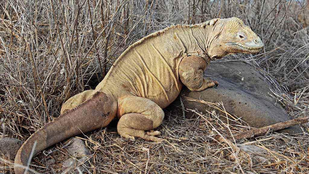 the Santa Fe Galapagos land iguana has a paler yellow coloring than on other Galapagos islands