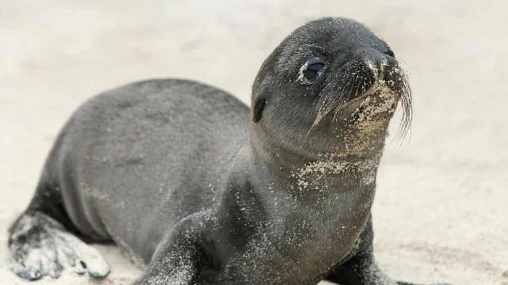 cute baby sea lion at galapagos islands