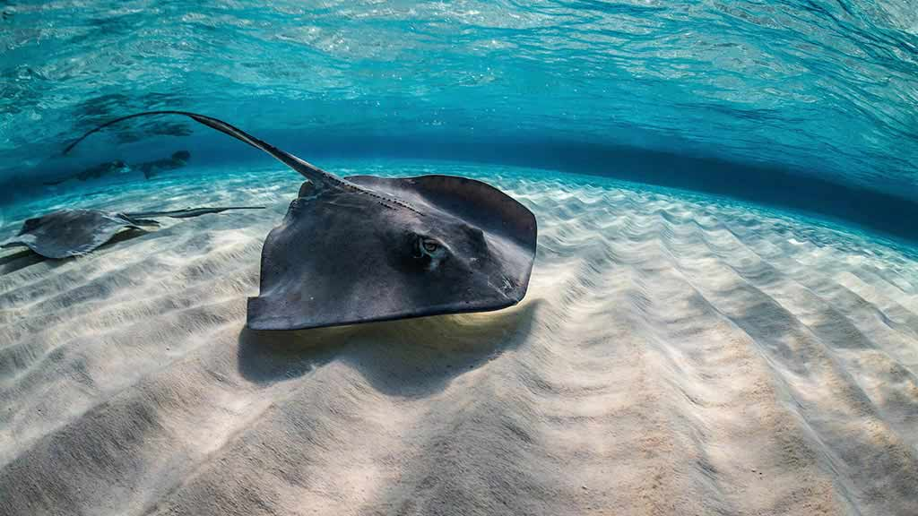 A spectacular galapagos stingray swimming in clear waters