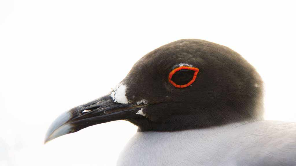 Close up of head of a Galapagos swallow-tailed gull with orange eye ring
