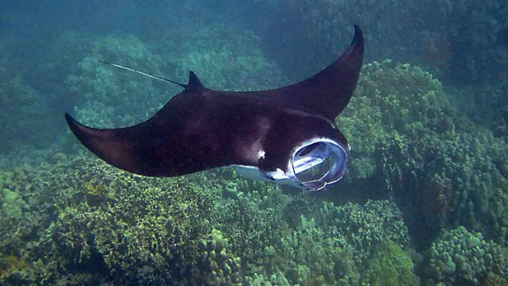 Galapagos rays: a manta ray swimming with mouth open to feed