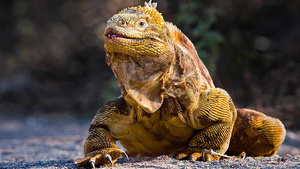 Adult yellow galapagos land iguana on North Seymour island