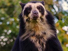 an ecuador andean bear standing up