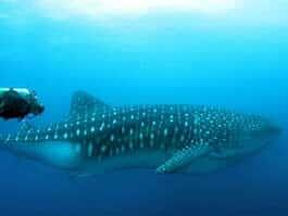 scuba diver alongside a galapagos whale shark at darwins arch