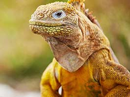 Galapagos land iguana posing for a photo with beautiful golden colors