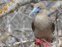 red footed booby sitting on a branch at Genovesa island galapagos