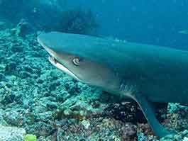 thumb-whitetip-reef-shark blog