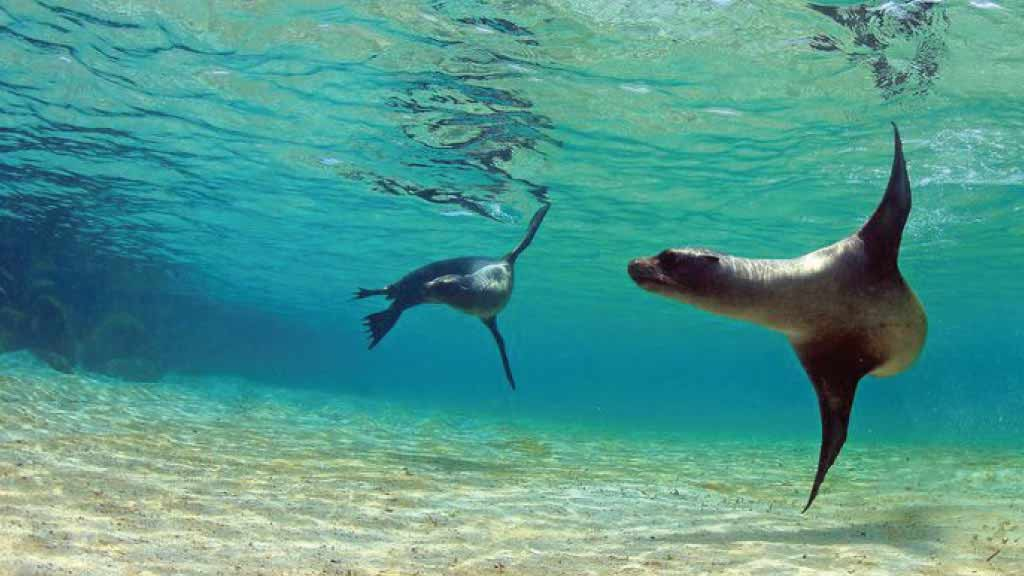 Two galapagos sea lions swim playfully underwater at Galapagos islands