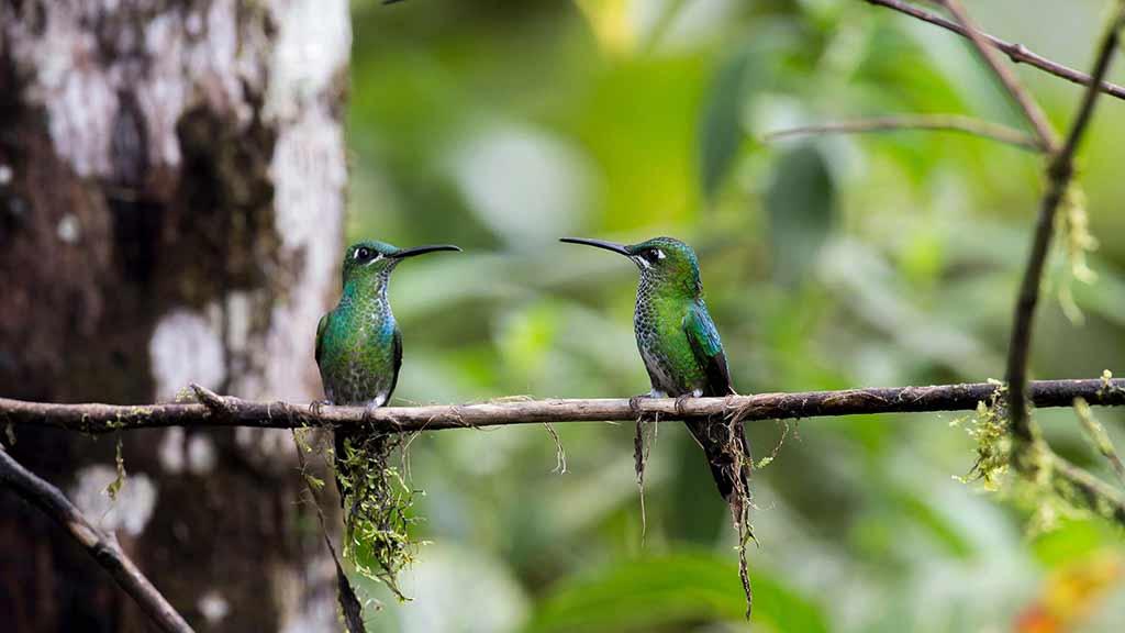 Two hummingbirds sit together on a branch, Tandayapa, Ecuador