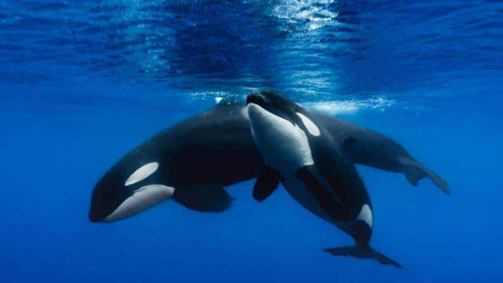 An Orca mother with baby at Galapagos islands