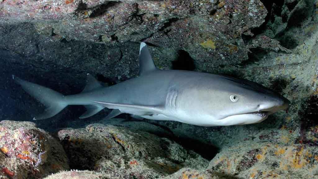 whitetip reef shark Galapagos - pale grey shark bears his teeth hiding in rocky cave