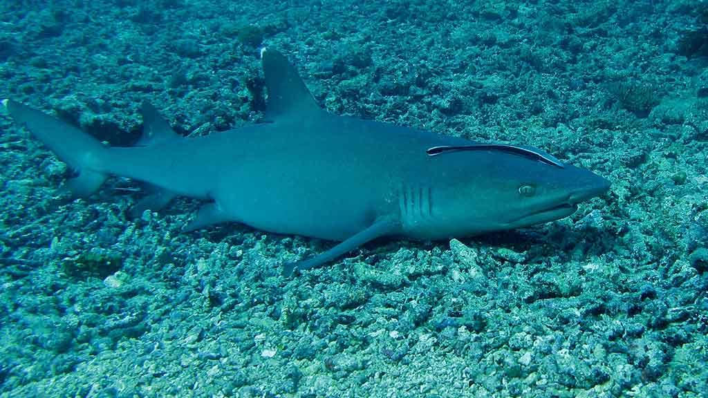 whitetip-reef-shark-in-the-galapagos-ocean