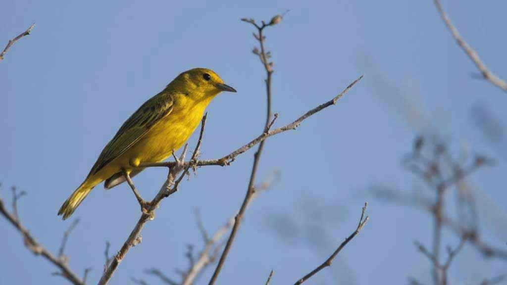 Galapagos islands bird watching: yellow warbler