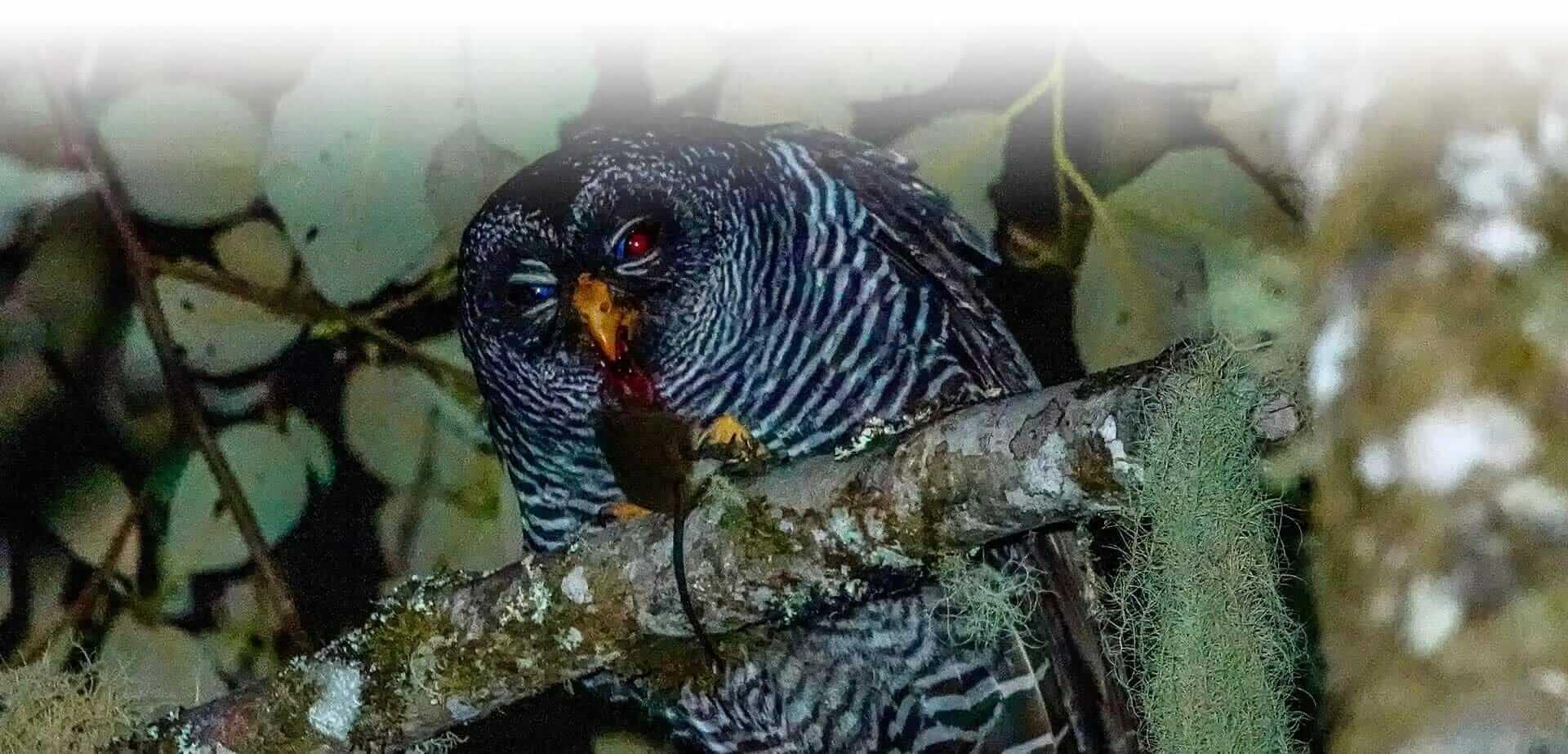 san isidro owl ecuador bird watching