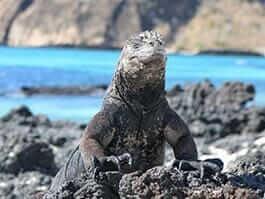 galapagos islands travel - marine iguana in rock